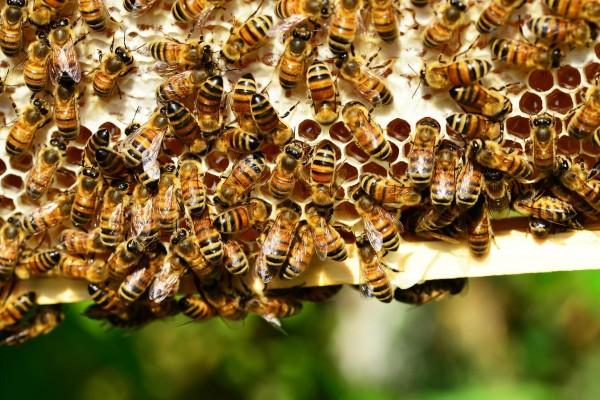 Tierschutzaktion-Juni-2018_Bienenretter_Beitragsbild_honey-bees-401238_1920