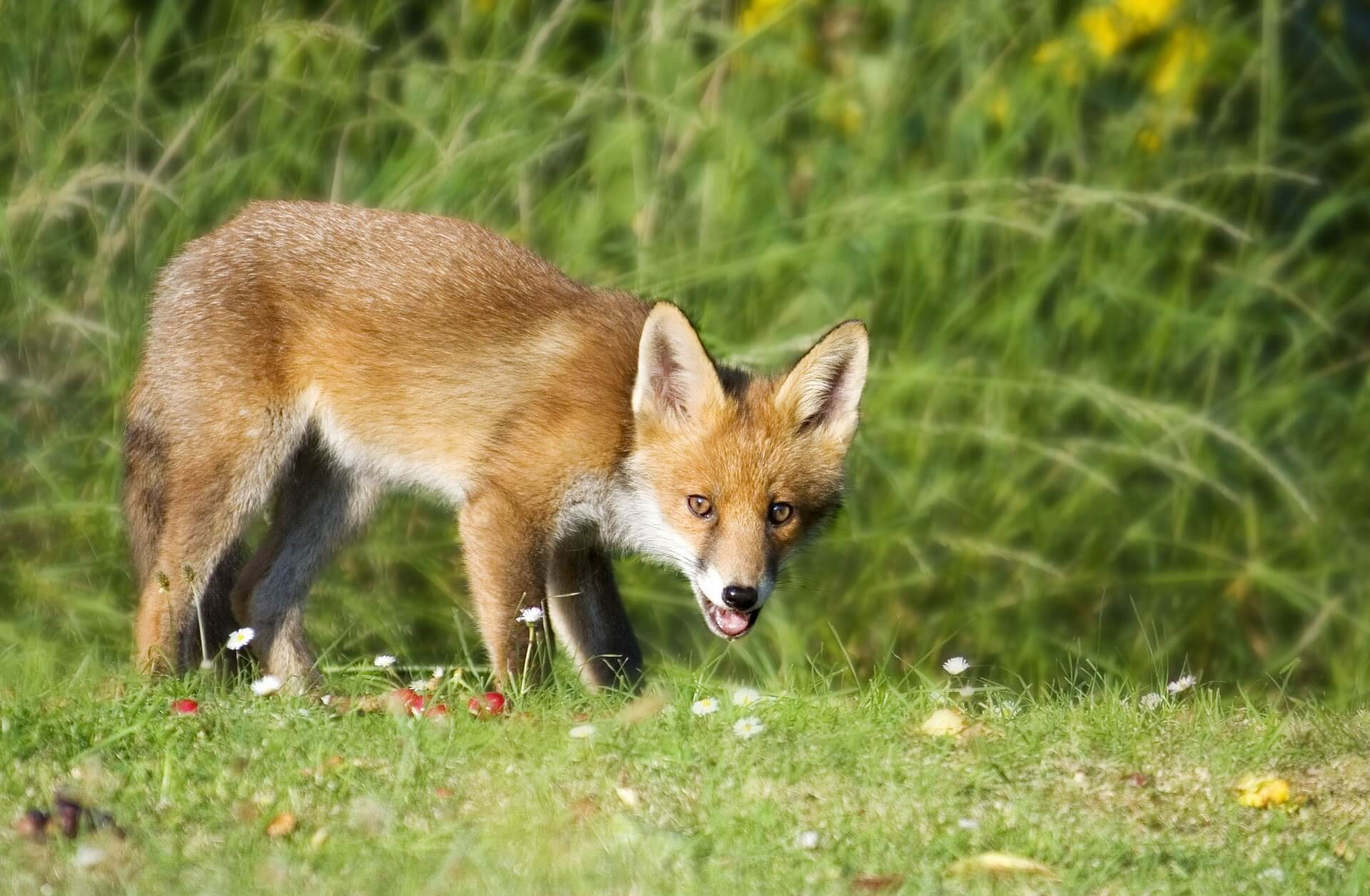 Tierschutzaktion-Oktober-2017_PETA-Fuchs_Beitragsbild_fox-1164951_1920
