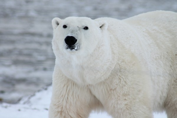 Tierschutzaktion-Januar-2018_WWF_Beitragsbild_polar-bear-404314_1920
