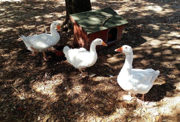 Tierschutzaktion-September-2018_Gnadenhof-Anna-e-V-_Beitragsbild_duck-3245182_1920