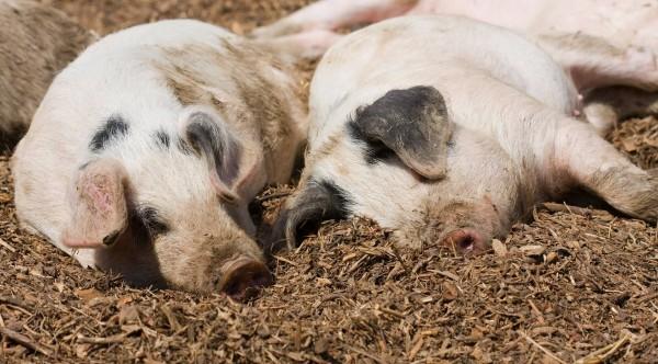 Tierschutzaktion-Dezember-2018_AnimalEquality_Beitragsbild_piglet-275973_1920