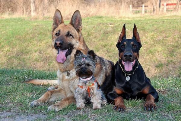 Tierschutzaktion-Spenden-2017_Beitragsbild_doberman-3120382_1920
