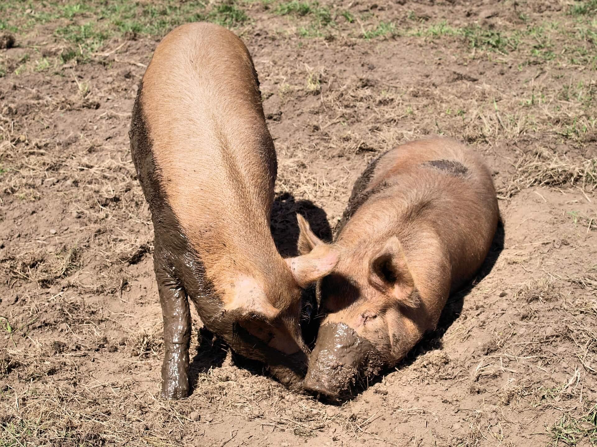 Tierschutzaktion-Dezember-2017_2_pigs-2699889_1920