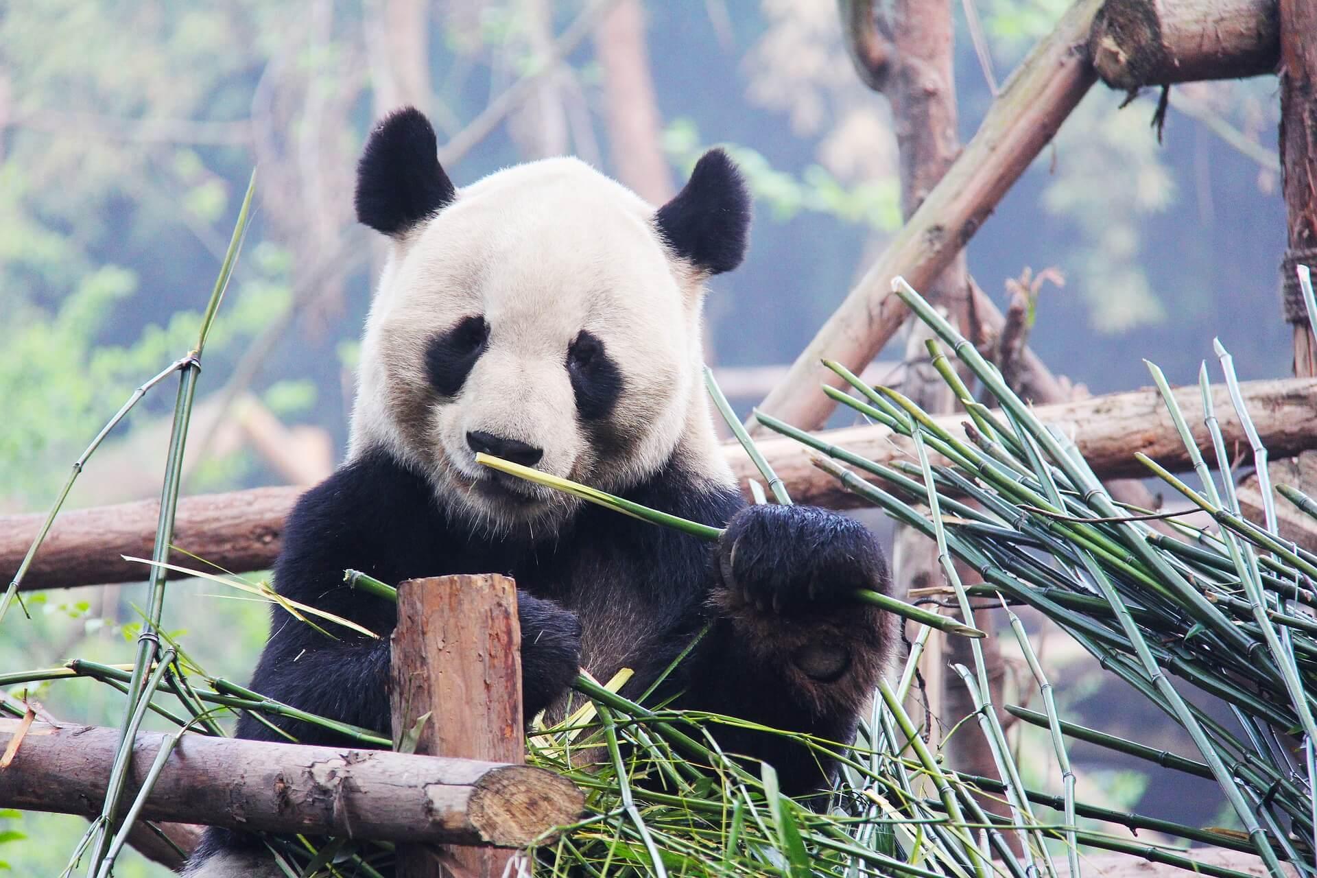 Tierschutzaktion-Spenden-2017_Panda_black-and-white-1711001_1920
