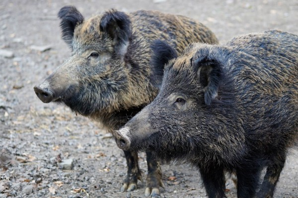 afrikanische-schweinepest-nutri-plus