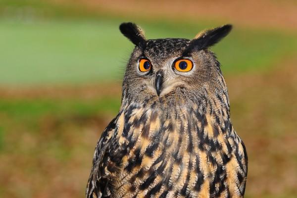 Tierschutzaktion-August-2017_Gesellschaft-zur-Erhaltung-der-Eulen-e-V-_Beitragsbild_european-eagle-owl-2010346_1920